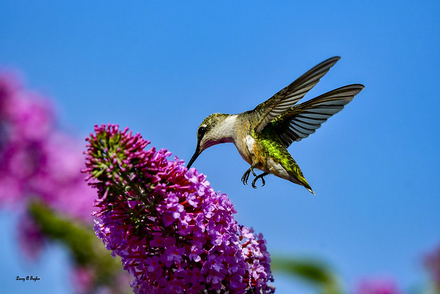 Hummingbird on a butterfly bush on Tennessee's Cumberland Plateau.