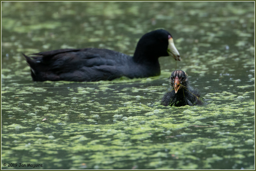 Half a Coot Family 7879