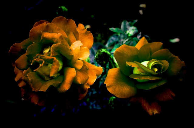 Toronto Ontario ~ Canada ~ Edwards Botanical Gardens ~   Orange Roses