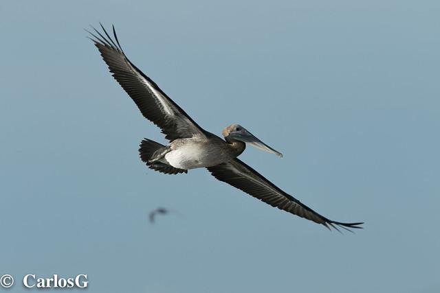 Pelícano, Brown Pelican (Pelecanus occidentales)