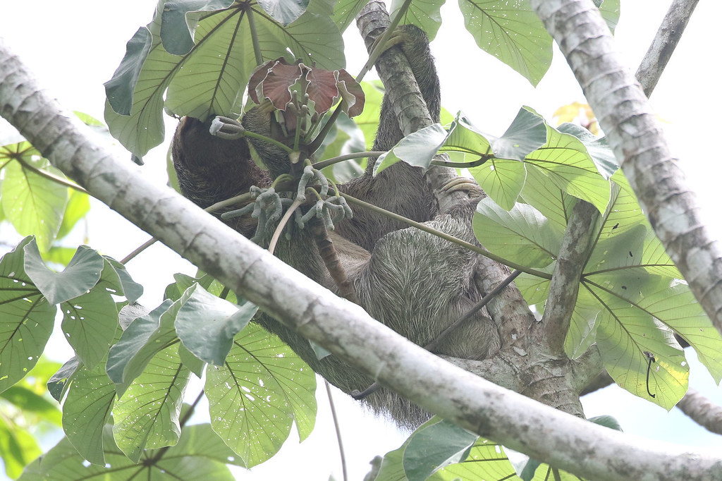 Brown-throated Three-toed Sloth - Bradypus variegatus - Parque Nacional Manuel Antonio, Puntarenas, Costa Rica - June 14, 2019