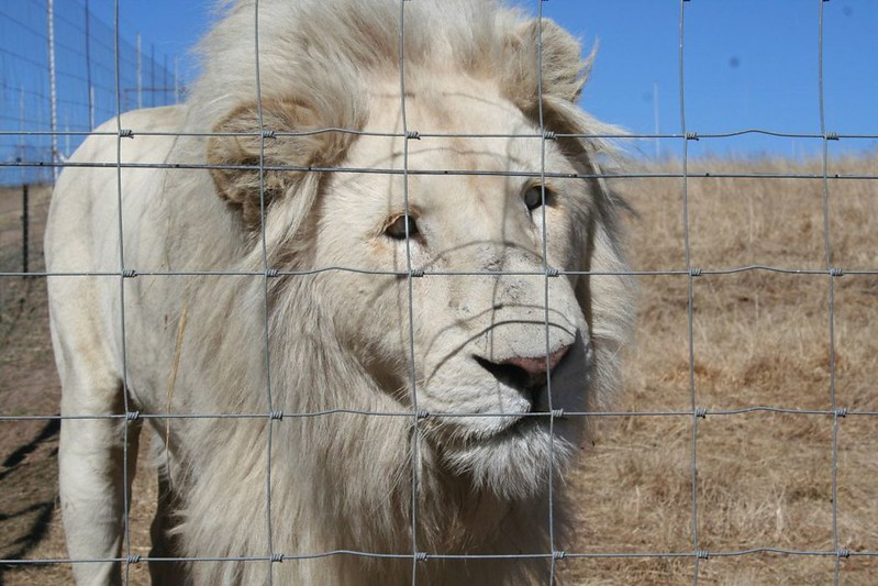 A severely cross-eyed male lion at a facility in South Africa. His injury is a result of inbreeding. Image credit: Blood Lions