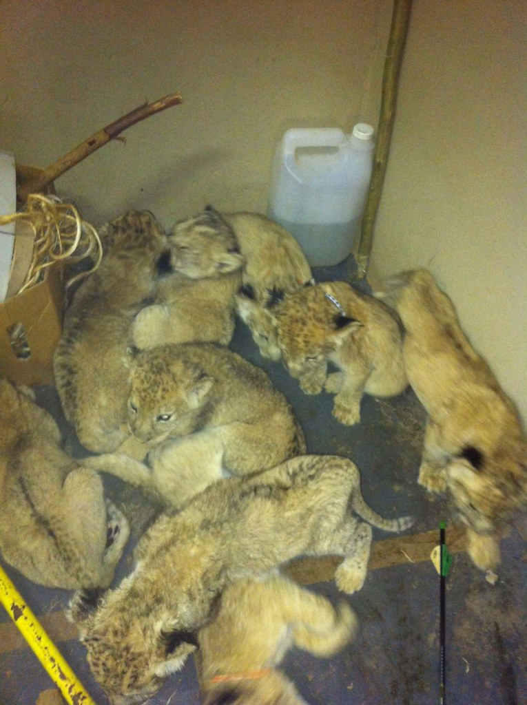 Lion cubs crammed into a dirty room at a facility in South Africa. Image credit: Blood Lions