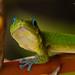 Gecko Gaze.jpg