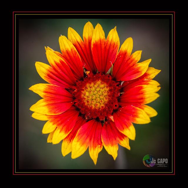 "Gaillardia aristata : "" Le soleil commande toutes choses."""