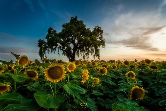 Sunflowers & Oak