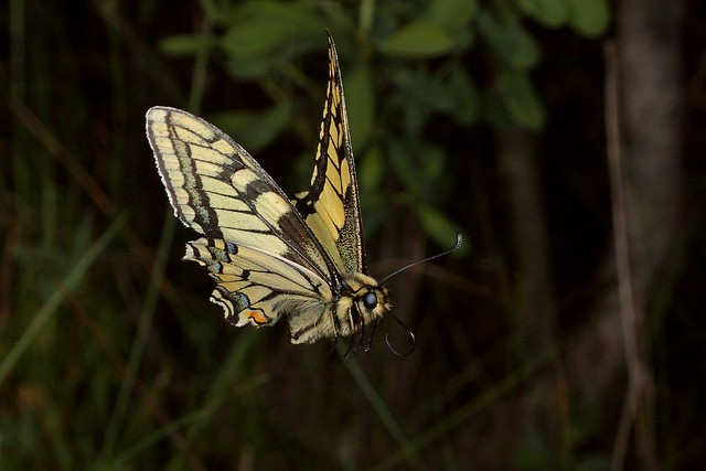 Rolf_Nagel-Fl-2442-Papilio machaon