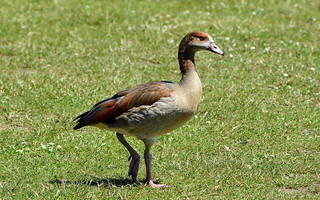 JUVENILE EGYPTIAN GOOSE at PRIORY CP