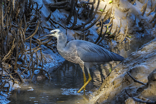 White Faced Heron (3) | by bidkev1 and son (see profile)