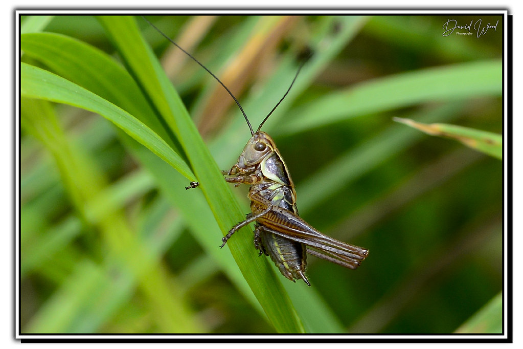 roesel's bush cricket