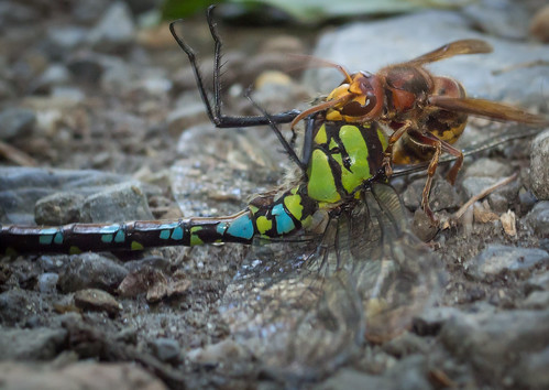 A hornet killing a dragon fly