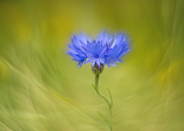 An elegant cornflower