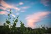 Osservando le nuvolette colorate dal tramonto tra i vigneti della Franciacorta.