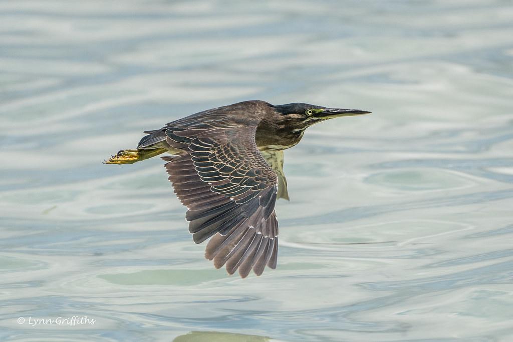 Striated Heron 501_8401.jpg