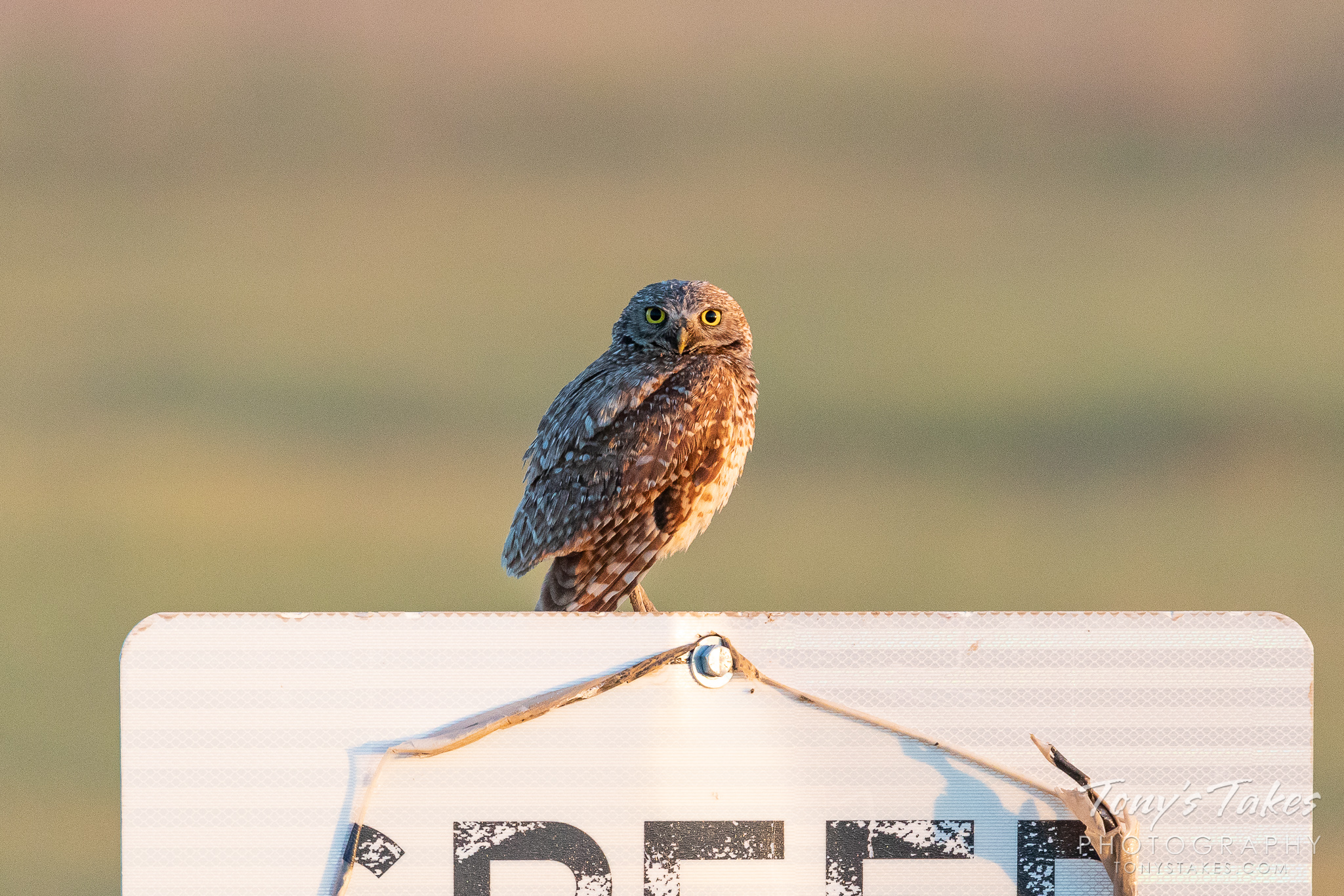 A burrowing owl keeps watch on passing drivers. (© Tony's Takes)