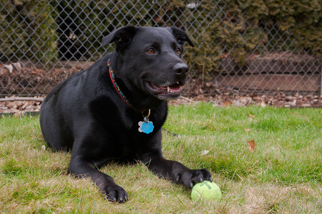 Our dog Ellie sits in the grass in the backyard of our house in Portland, Oregon with her front paw on a tennis ball in January 2009