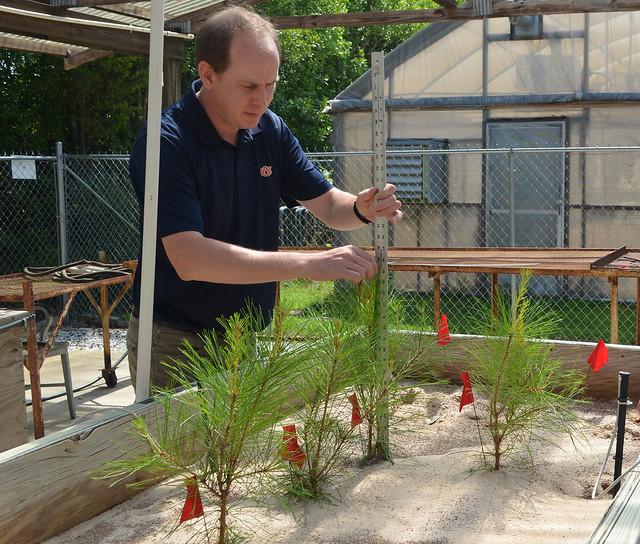 Ryan Nadel measures the growth of outplanted seedlings