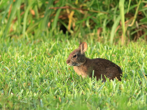 Marsh Rabbit juvenile 05-20190710