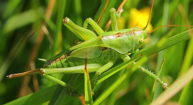 Great Green Bush-cricket (Tettigonia viridissima) 270619  (3)