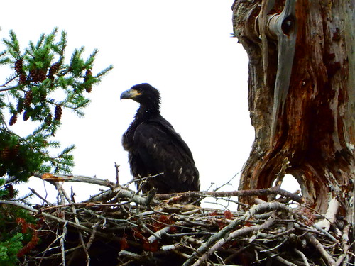 july 9 2019 16:51 - Eaglet standing on the Nest | by boonibarb