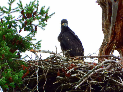 july 9 2019 16:52 - Eaglet standing on the Nest | by boonibarb