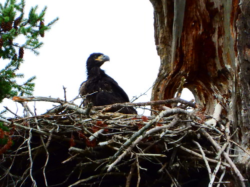 july 9 2019 16:59 - Eaglet standing on the Nest | by boonibarb