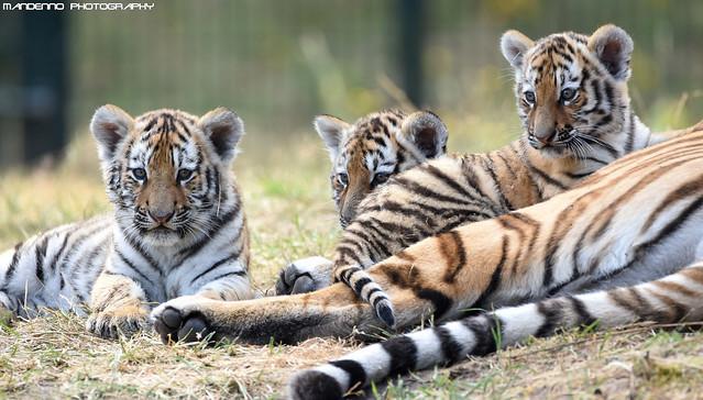 Three siberian tiger cubs - Safaripark Beekse Bergen