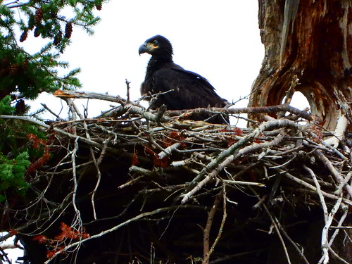 july 9 2019 16:56 - Eaglet standing on the Nest | by boonibarb
