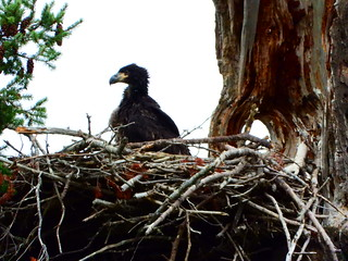 july 9 2019 16:58 - Eaglet standing on the Nest | by boonibarb