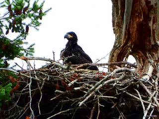 july 9 2019 17:00 - Eaglet standing on the Nest | by boonibarb