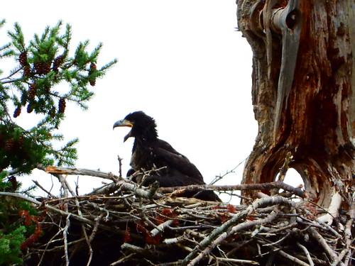 july 9 2019 17:02 - Eaglet standing on the Nest | by boonibarb