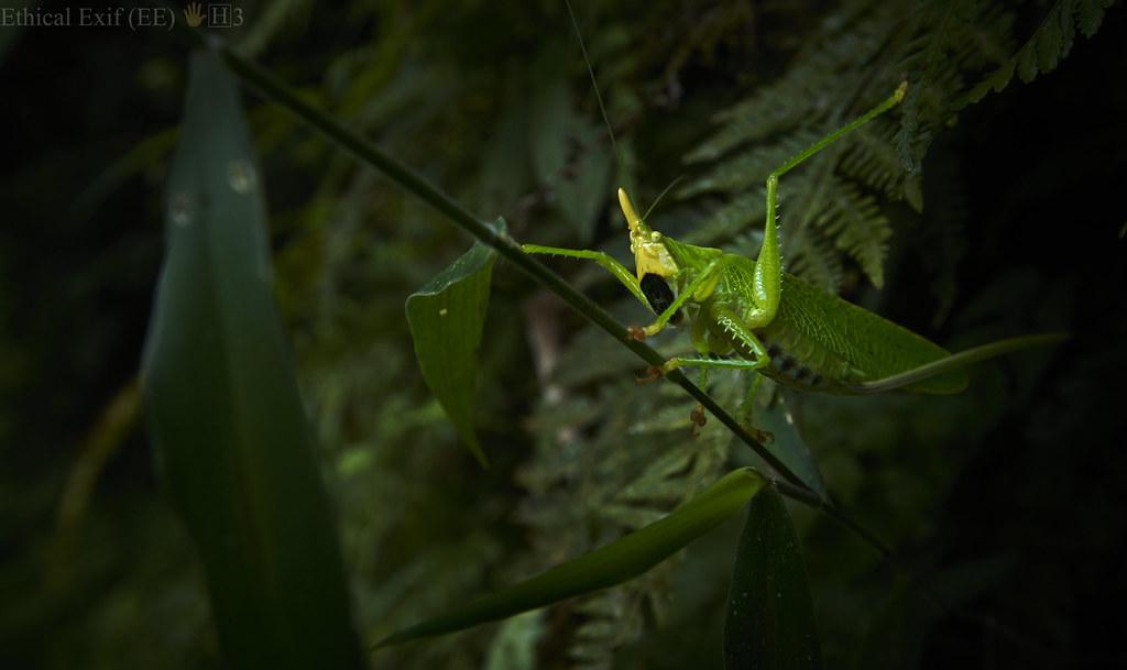 Cone-headed katydid (Conocephalinae)