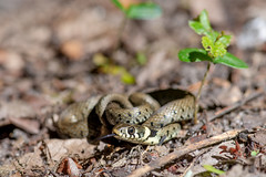 Grass Snake - Natrix helvetica - Nemours, France