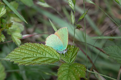 Green Hairstreak - Callophrys rubi - Nemours, France