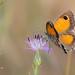 Lobito meridional (Pyronia cecilia)