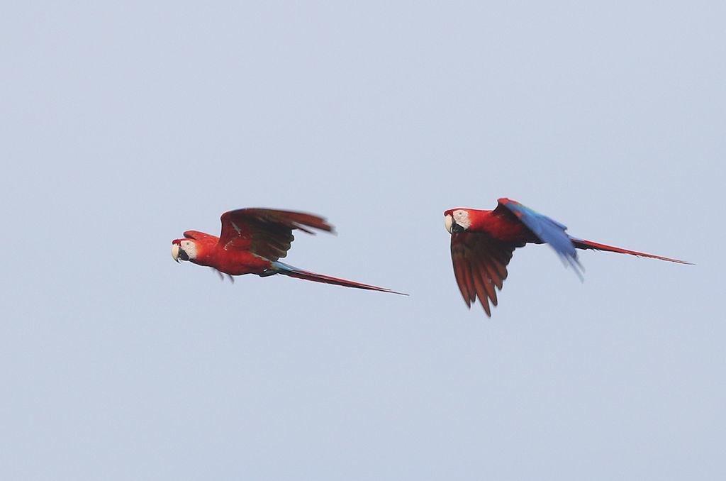 Scarlet Macaw - Ara macao - Aguirre, Puntarenas, Costa Rica - June 16, 2019