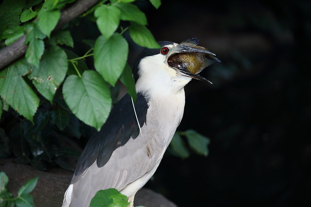 night heron swallowing fish