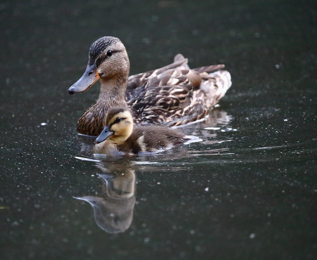mama and duckling together