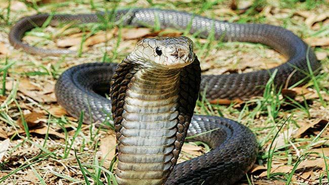 Ular Sendok Jawa/Kobra jenis satwa