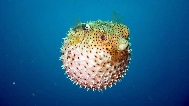 Ikan-Buntal jenis satwa