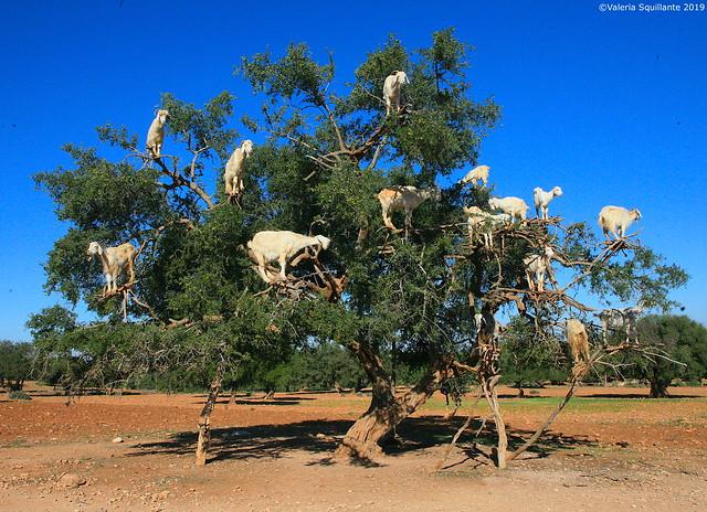 Sawira, Argan Goats Tree, Marocco
