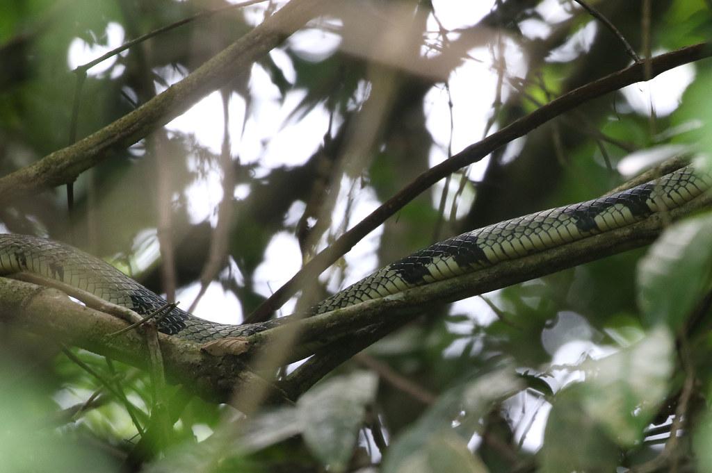 Chicken Snake - Spilotes pullatus - Parque Nacional Manuel Antonio, Puntarenas, Costa Rica - June 14, 2019