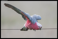 Galah: Wash up before dinner, dear!