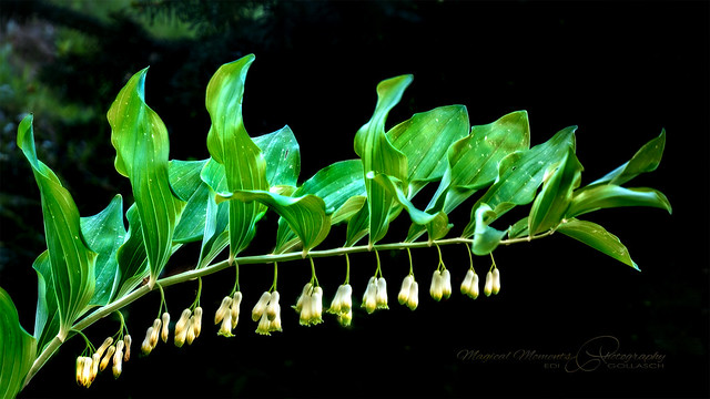 A mythical plant: Polygonatum odoratum