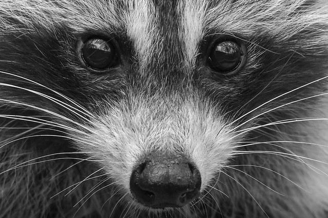 Raccoon close up in black and white.