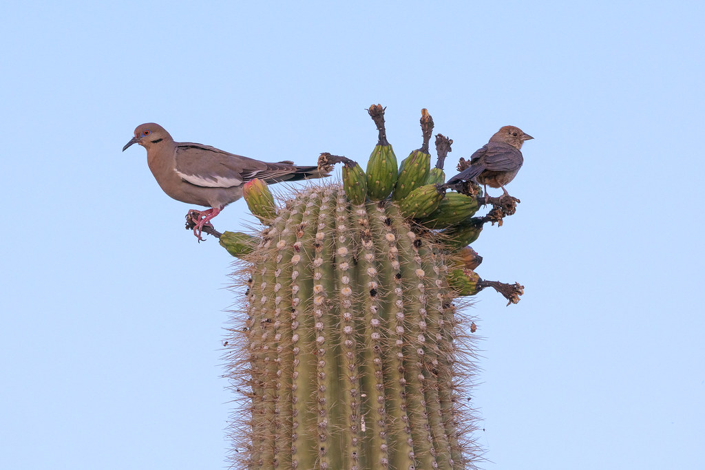 A white-winged dove and a canyon towhee bookend a fruiting saguaro before sunrise on the Latigo Trail in the Brown's Ranch section of McDowell Sonoran Preserve in Scottsdale, Arizona in July 2019