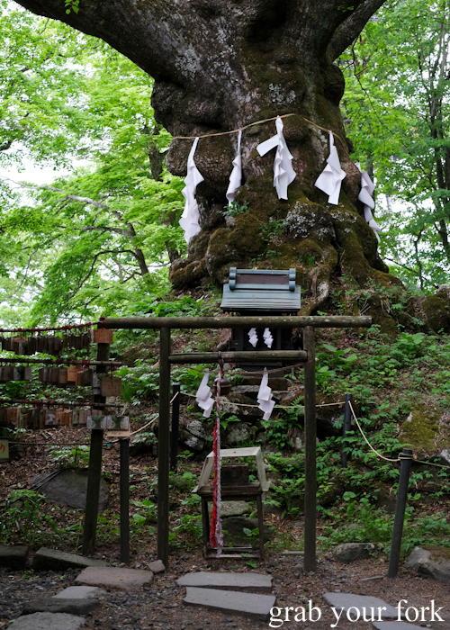 Legendary giant tree at Kumanokoutai Jinja Shrine in Karuizawa featured on Terrace House Opening New Doors