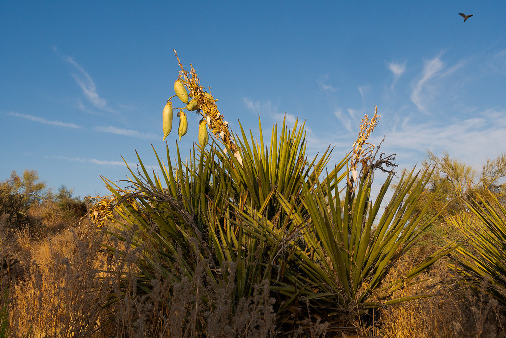Fruit grows on a banana yucca as a white-winged dove flies overhead early one morning on the Latigo Trail in the Brown's Ranch section of McDowell Sonoran Preserve in Scottsdale, Arizona in June 2019