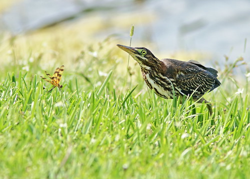 Green Heron immature stalking 02-20190710
