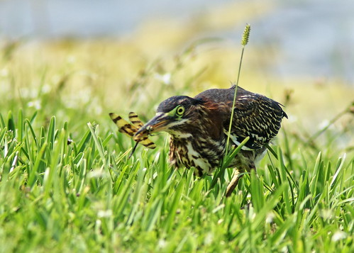 Green Heron immature stalking 03-20190710